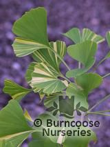 GINKGO biloba 'Variegata' 