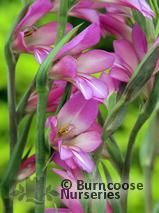 GLADIOLUS communis subsp. Byzantinus  