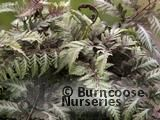 HARDY FERNS Athyrium niponicum 'var pictum'