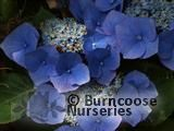 HYDRANGEA 'Taube'  