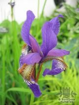 IRIS siberica 'Blue King' 