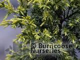 JUNIPERUS chinensis 'Aurea'  