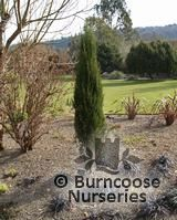JUNIPERUS virginiana 'Blue Arrow'  