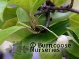 KADSURA japonica 'Fructo Albo'