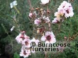 LEPTOSPERMUM scoparium 'Blossom' 