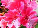 LEWISIA Birch hybrids  