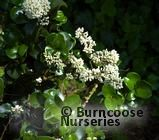 LIGUSTRUM japonicum 'Rotundifolium'  