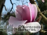 MAGNOLIA 'Atlas'  