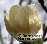 MAGNOLIA 'Gold Cup'  