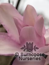 MAGNOLIA 'Mark Jury'  