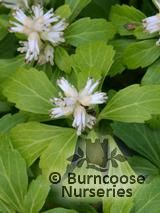 PACHYSANDRA terminalis  