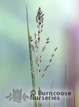 PANICUM virgatum &#x27;Heavy Metal&#x27;  