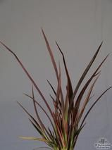PHORMIUM 'Sundowner'  