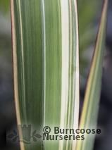 PHORMIUM Tricolor'  