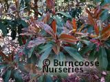 PHOTINIA serratifolia