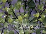 PITTOSPORUM tenuifolium 'Wrinkled Blue'
