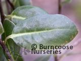 PITTOSPORUM tenuifolium 'Golf Ball'