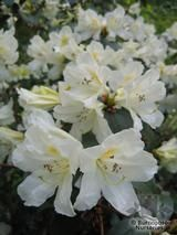 RHODODENDRON johnstoneanum  