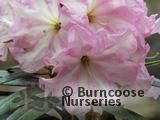 RHODODENDRON 'Lem's 45'