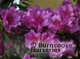 RHODODENDRON 'Purple Splendour'