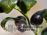 SARCOCOCCA confusa  