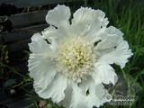 SCABIOSA caucasica 'Alba' 