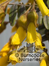SOPHORA macrocarpa  