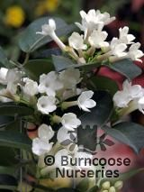 STEPHANOTIS floribunda  