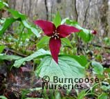 TRILLIUM erectum  