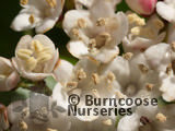VIBURNUM tinus 'Eve Price' 