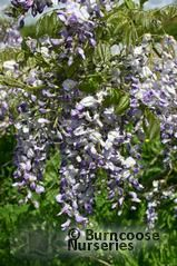 WISTERIA floribunda 'Domino' 