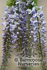 WISTERIA floribunda 'Geisha' 