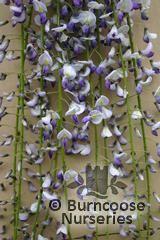 WISTERIA floribunda 'Tiverton'