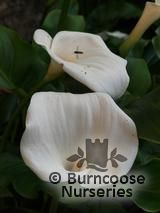 ZANTEDESCHIA aethiopica  