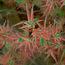 ACER palmatum 'Beni-schichihenge'