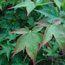 ACER palmatum 'Hogyoko'