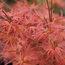 ACER palmatum 'Phoenix'