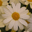 ARGYRANTHEMUM frutescens 'Citronelle'