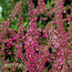 HEATHERS Calluna vulgaris 'Dark Beauty'