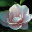 CAMELLIA 'Peach Blossom'