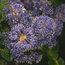 CEANOTHUS 'Blue Cushion'