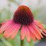 ECHINACEA purpurea 'Firebird'