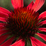 ECHINACEA purpurea 'Hot Summer'