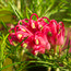 GREVILLEA 'Olympic Flame'