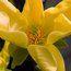 MAGNOLIA acuminata 'Honey Liz'