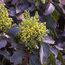 MAHONIA aquifolium 'Apollo'