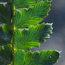 HARDY FERNS Polystichum polyblepharum