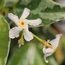 TRACHELOSPERMUM jasminoides 'Variegata'