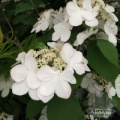 Viburnum 'Kilimanjaro Sunrise'  1 x small delivered for £20 saving £11