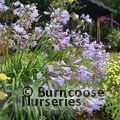 AGAPANTHUS 'Peter Pan'  